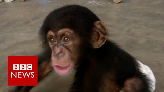 Secret trade in baby chimps - BBC News