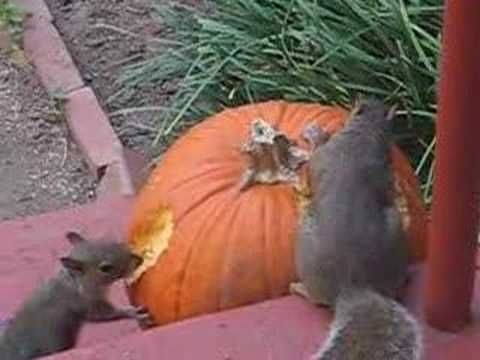 Squirrels Eating Our Pumpkin
