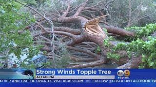 Century-Old Tree Crashes Down In Altadena