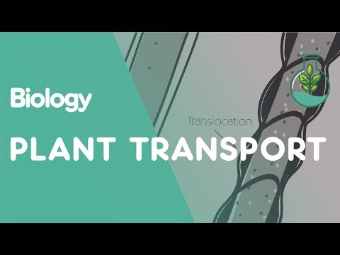 Xylem and Phloem - Transport in Plants | Biology for All | FuseSchool