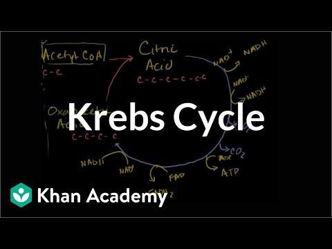 Krebs / citric acid cycle | Cellular respiration | Biology | Khan Academy