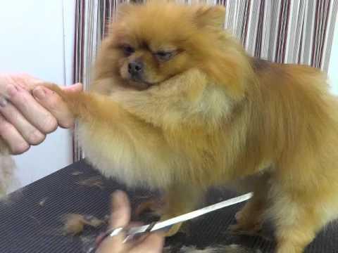 Pet Grooming for a Pomeranian starring Baa Baa