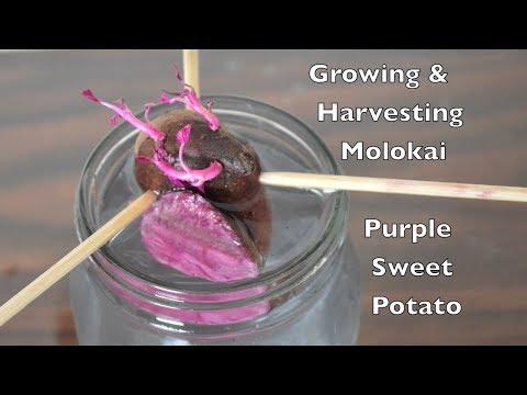 Growing & Harvesting Molokai Purple Sweet Potato.