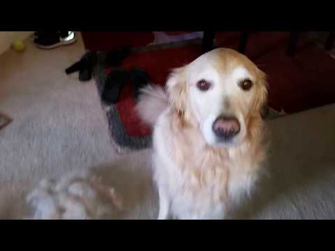Golden Retriever Shedding Hair! - Using Furminator on My Dog to Remove Fur