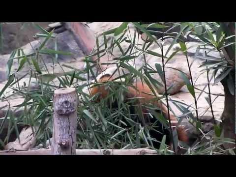 Red Panda eating bamboo leaves