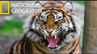 Download American Tiger (National Geographic) / HD Video