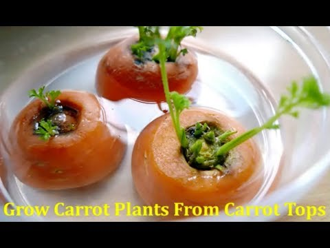 How to grow Carrot Plant from Carrot tops to yield seeds
