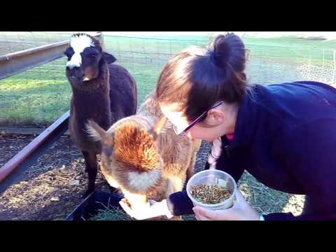 Feeding alpacas in Campbelltown, Australia
