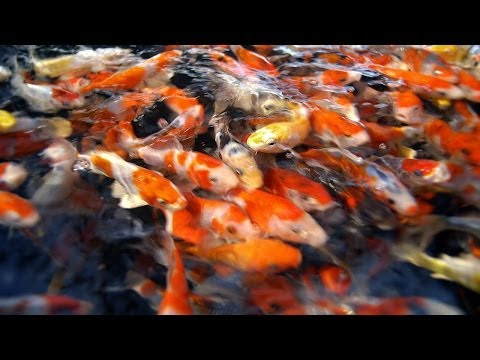 Fish Selection | Choosing Young Koi Fish for Your Pond - Part 1