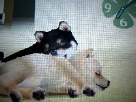 how to breed nintendogs (EASY)