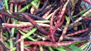 Pinkeye Purple Hull Peas: Harvesting \u0026 Easy Shelling Gadget