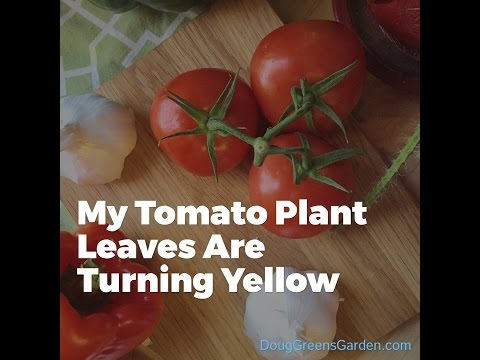 What Can I Do About My Tomato Plant Leaves Turning Yellow