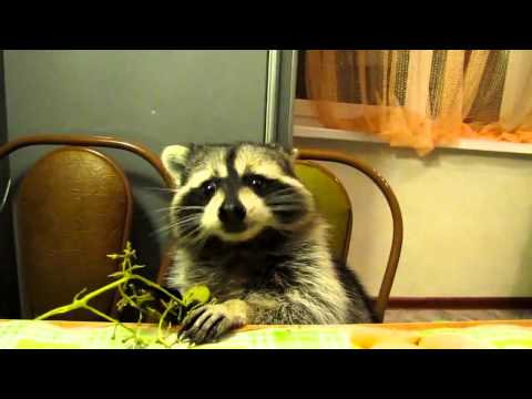 Raccoon eats grapes with his little hands
