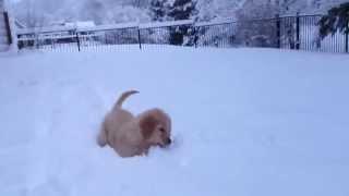 Cute Golden Retriever Puppy First Snowfall