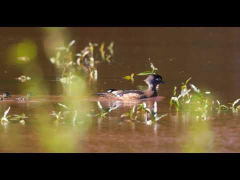 Wood Duck Ducklings 4 17 2018