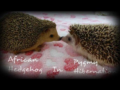 African pygmy hedgehog hibernation!