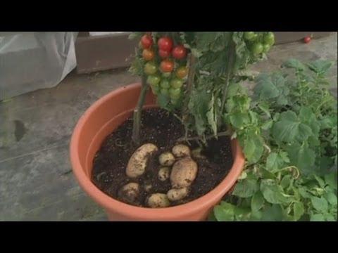 TomTato hybrid - tomato and potato hybrid plant launched