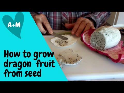 How to grow Pitaya Dragon Fruit from seed