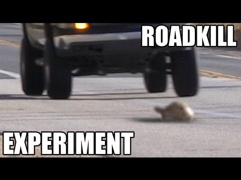 Turtles or Snakes- Which do cars hit more? ROADKILL EXPERIMENT