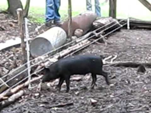 Pigs trained on electric fence