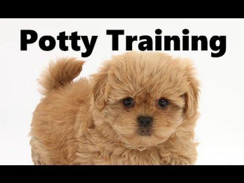 How To Potty Train A Peekapoo Puppy - Peekapoo House Training Tips - Housebreaking Peekapoo Puppies