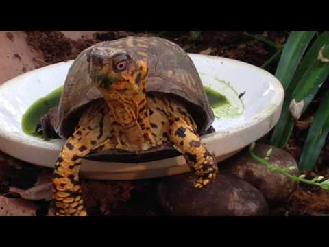 I MADE A DANGEROUS MISTAKE- box turtle care