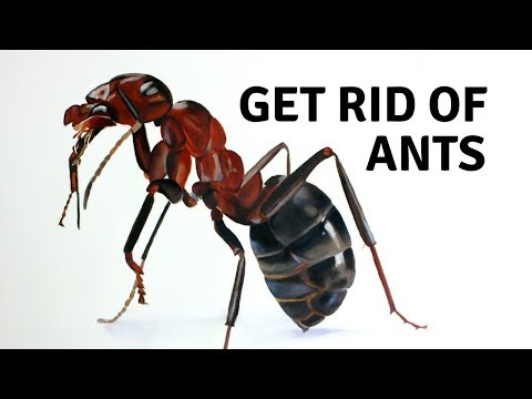 How to Get Rid of Ants - Home Remedies for Ants