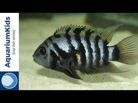 THE TOP 5 EASY-TO-BREED FRESHWATER AQUARIUM FISH (4K UHD)