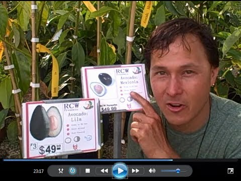 Cold Hardy Avocado Trees withstand 15 degrees & Edible Skin Avocados