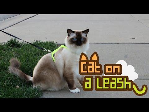 A Cat is Walking on a Leash