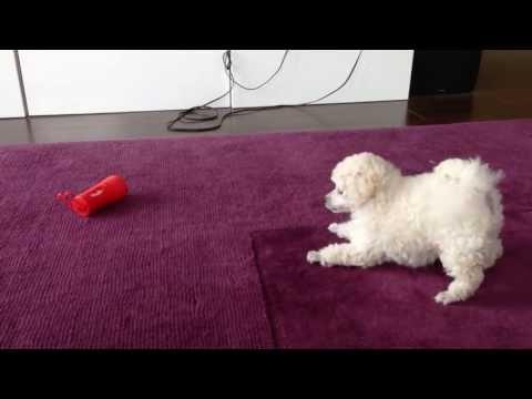 Pekoe the Poodle Afraid of Poop Bag Dispenser?