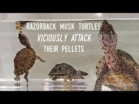 Feeding my Baby Musk Turtles!