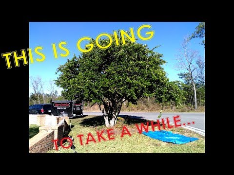 Trimming An Overgrown Ligustrum Tree - Time Lapse