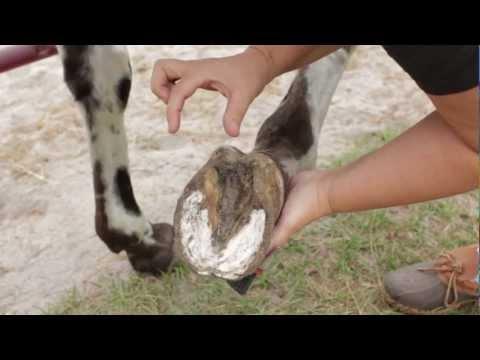 Becky's Homestead: Horse Hoof Abscess Treatment