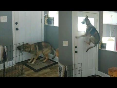 Dog Makes Giant Leaps for a Better Look Out Window