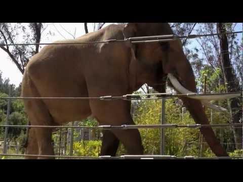 Billy the Bull! LA Zoo's 13,000+ lb Asian Elephant