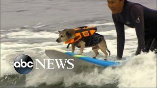 Surfing dogs make splash at world championship