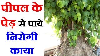 पीपल के पेड़ के फायदे Peepal Tree Benefits in Hindi