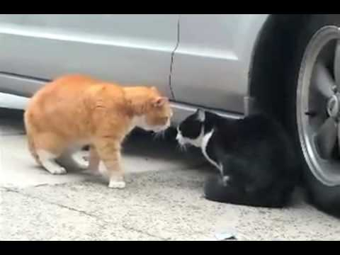 Talking Cat Turf War