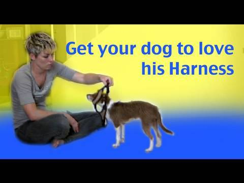 Get your dog to like having his harness put on - dog training