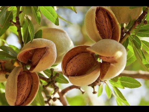 How to grow  Almond /बादाम की खेती