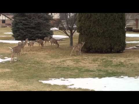 Deer in my back yard trying to mount one another!