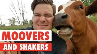 Moovers and Shakers   Cute Cows Compilation