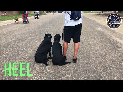 Sev and Halo, Black Lab, 2 dog off leash obedience, Northern Virginia E Collar Trainers