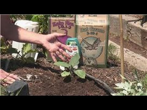 Nutritious Gardening : How to Raise Eggplant