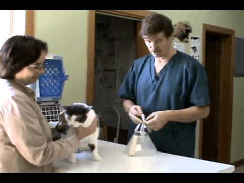 How to Put an Elizabethan Collar (e-collar) on a Cat - Veterinary Assistant Training