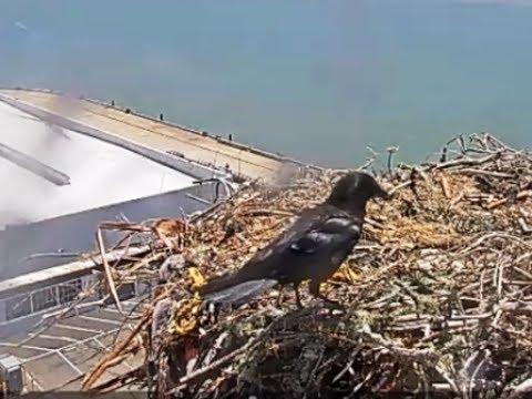 Crows investigate osprey nest  July 14, 2017