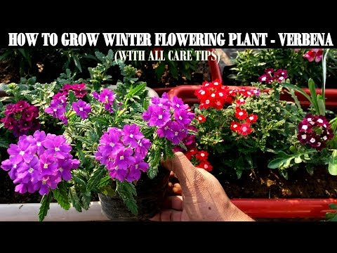 How To Grow Flower Plants At Home-Verbena