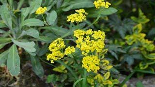 Алиссум скальный, растение для альпийской горки.  Растение второго года цветения .