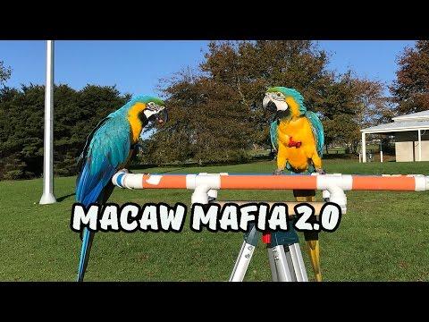 Macaws in Free Flight: Diego & Marley's First Formation #macawmafia (Ara Ararauna v letu)